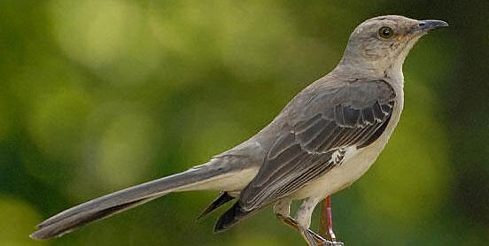 Images of Mockingbird | 552x278