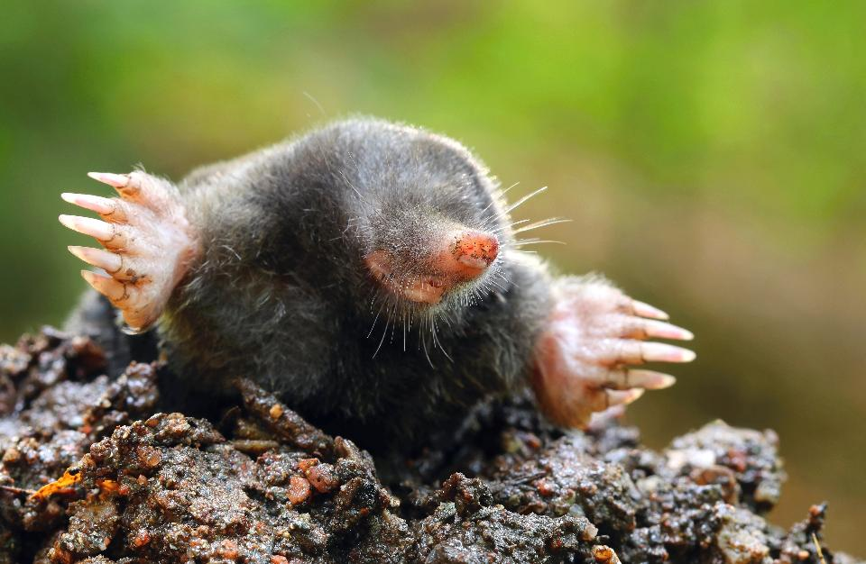 Mole Backgrounds, Compatible - PC, Mobile, Gadgets| 960x626 px