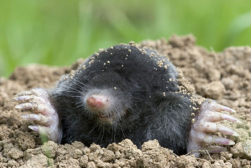 Mole Backgrounds on Wallpapers Vista
