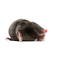 Mole Pics, Animal Collection