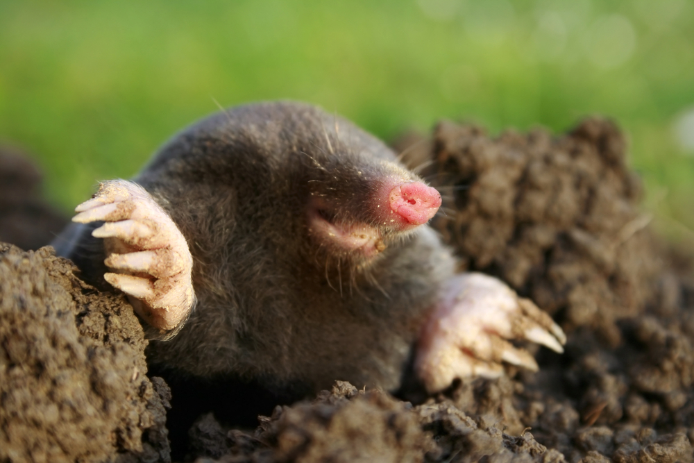 Amazing Mole Pictures & Backgrounds