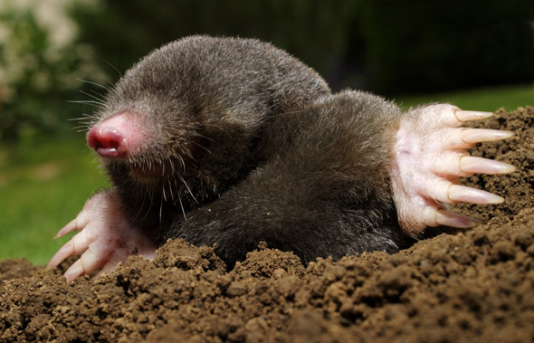 Nice Images Collection: Mole Desktop Wallpapers