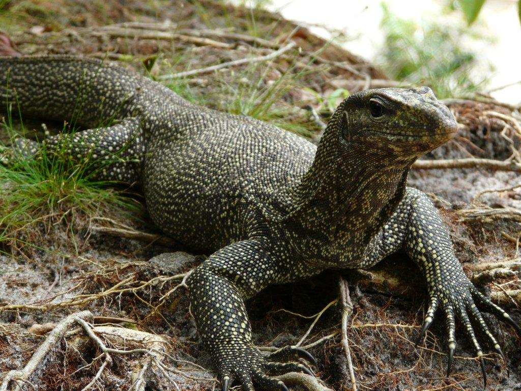Nice wallpapers Monitor Lizard 1024x768px