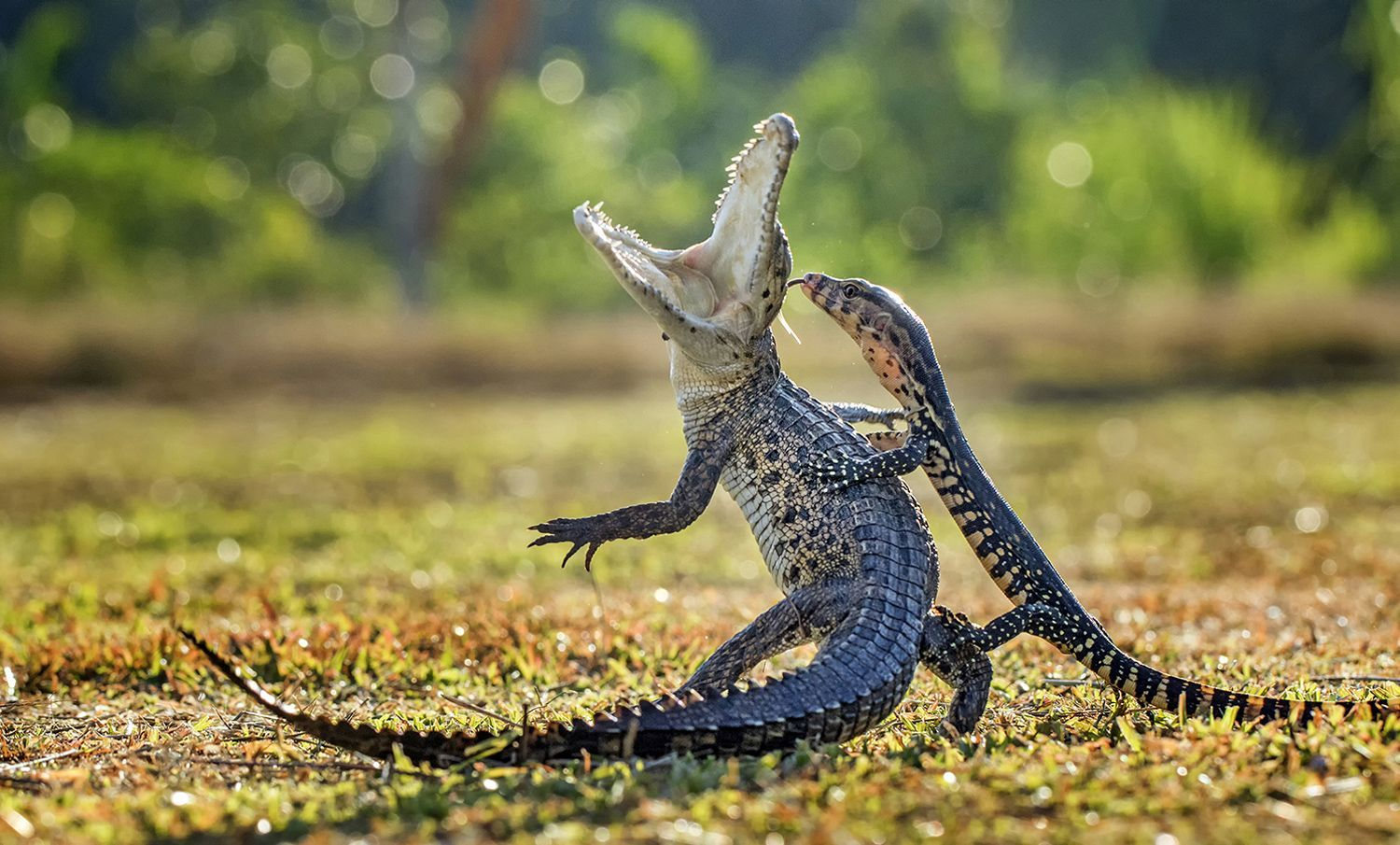 Monitor Lizard Backgrounds on Wallpapers Vista