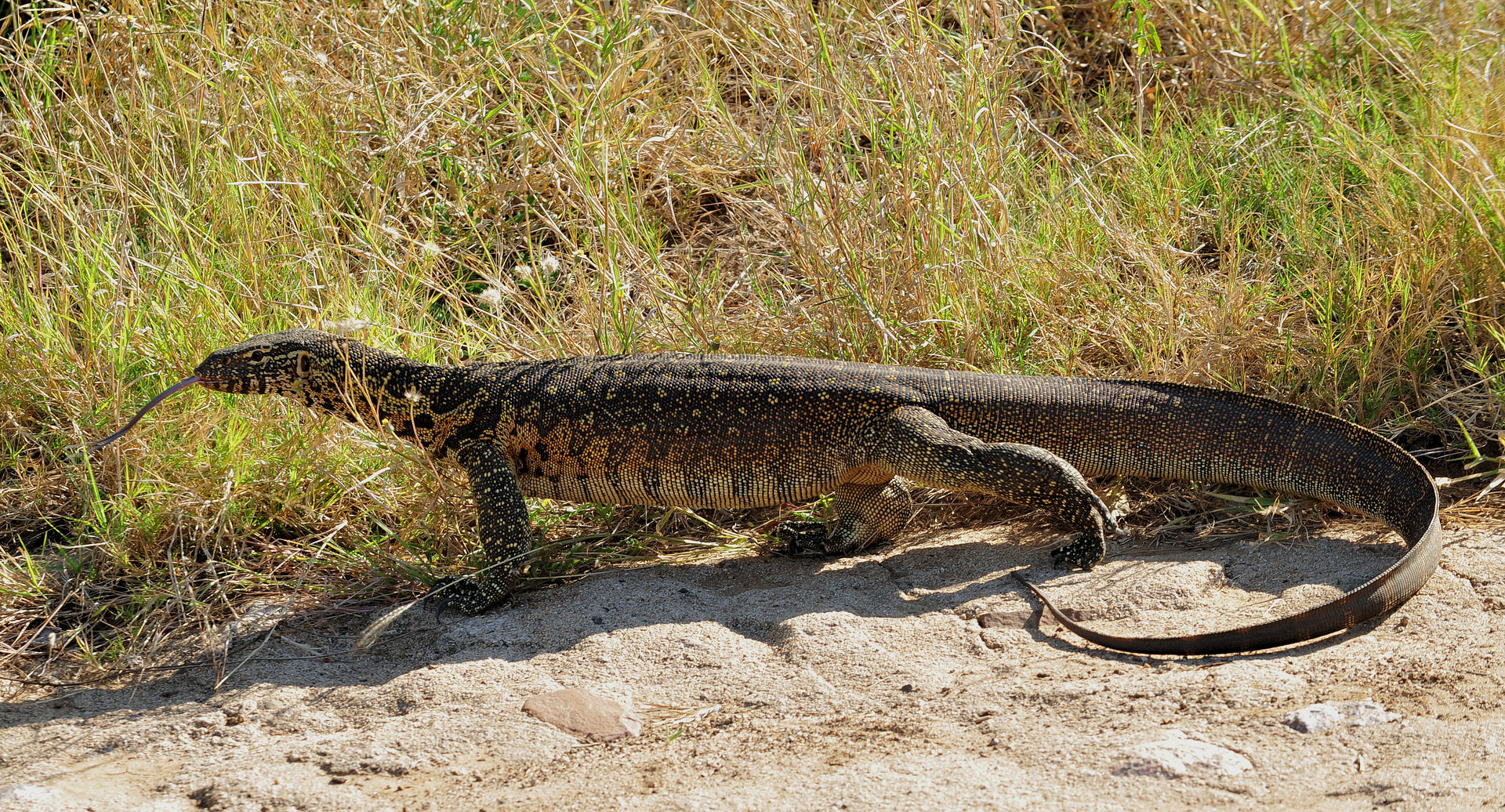 Nice Images Collection: Monitor Lizard Desktop Wallpapers