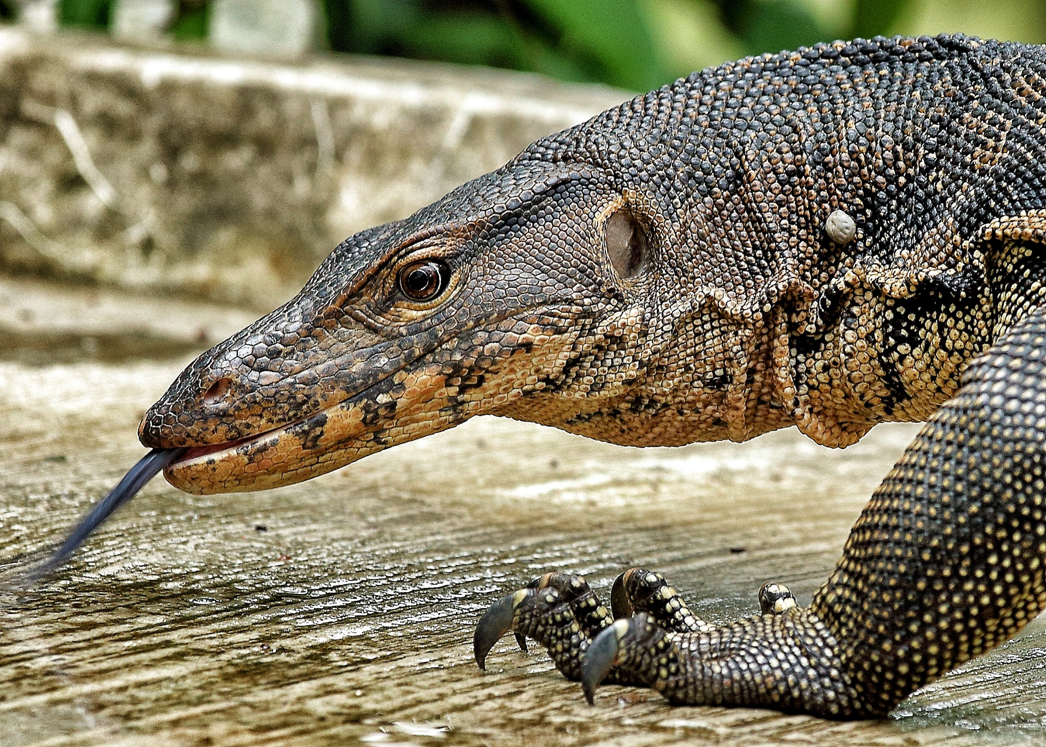 Images of Monitor Lizard | 2048x1462