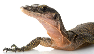 Monitor Lizard High Quality Background on Wallpapers Vista