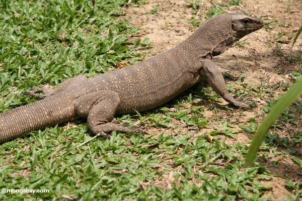 Nice wallpapers Monitor Lizard 600x400px
