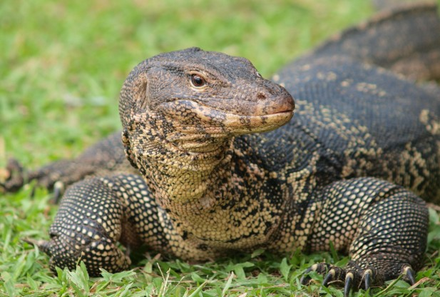 Monitor Lizard Backgrounds, Compatible - PC, Mobile, Gadgets| 617x416 px