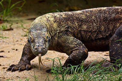 Amazing Monitor Lizard Pictures & Backgrounds