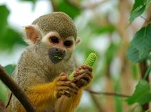 HD Quality Wallpaper | Collection: Animal, 220x163 Squirrel Monkey