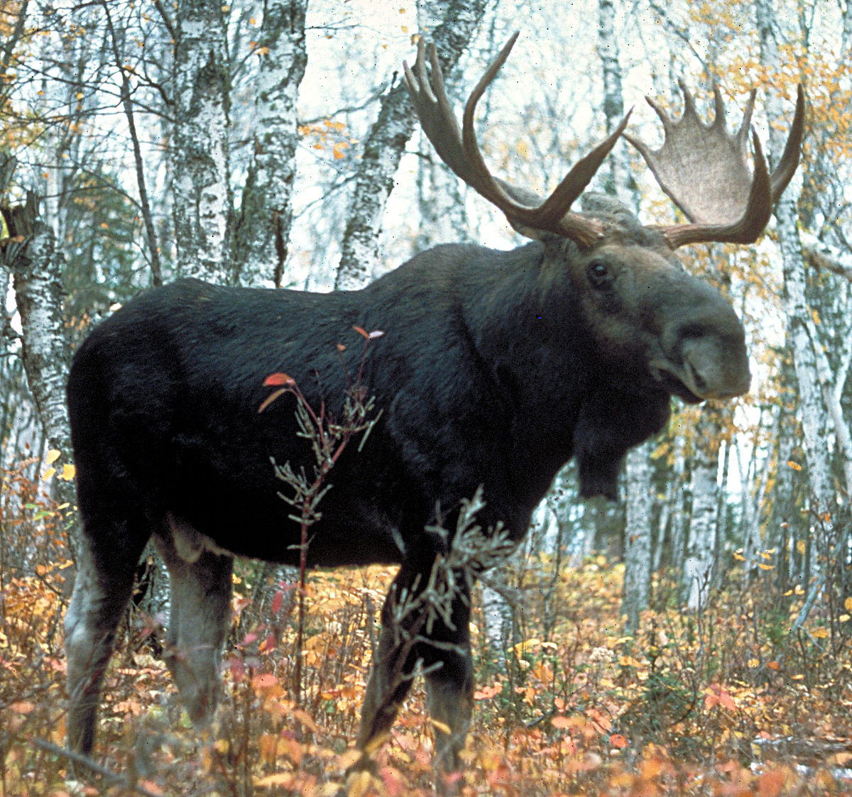 Moose Pics, Animal Collection