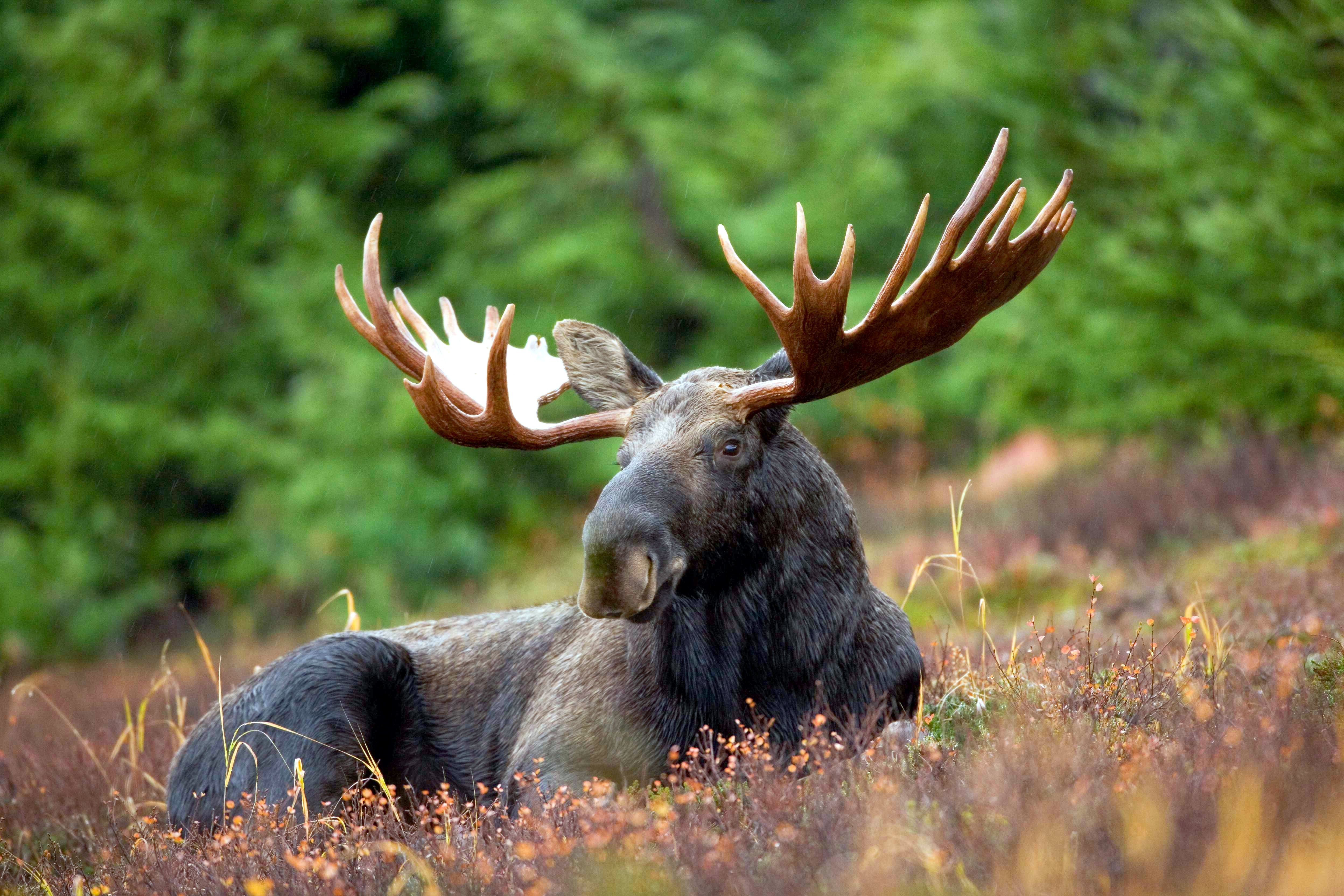 Nice Images Collection: Moose Desktop Wallpapers