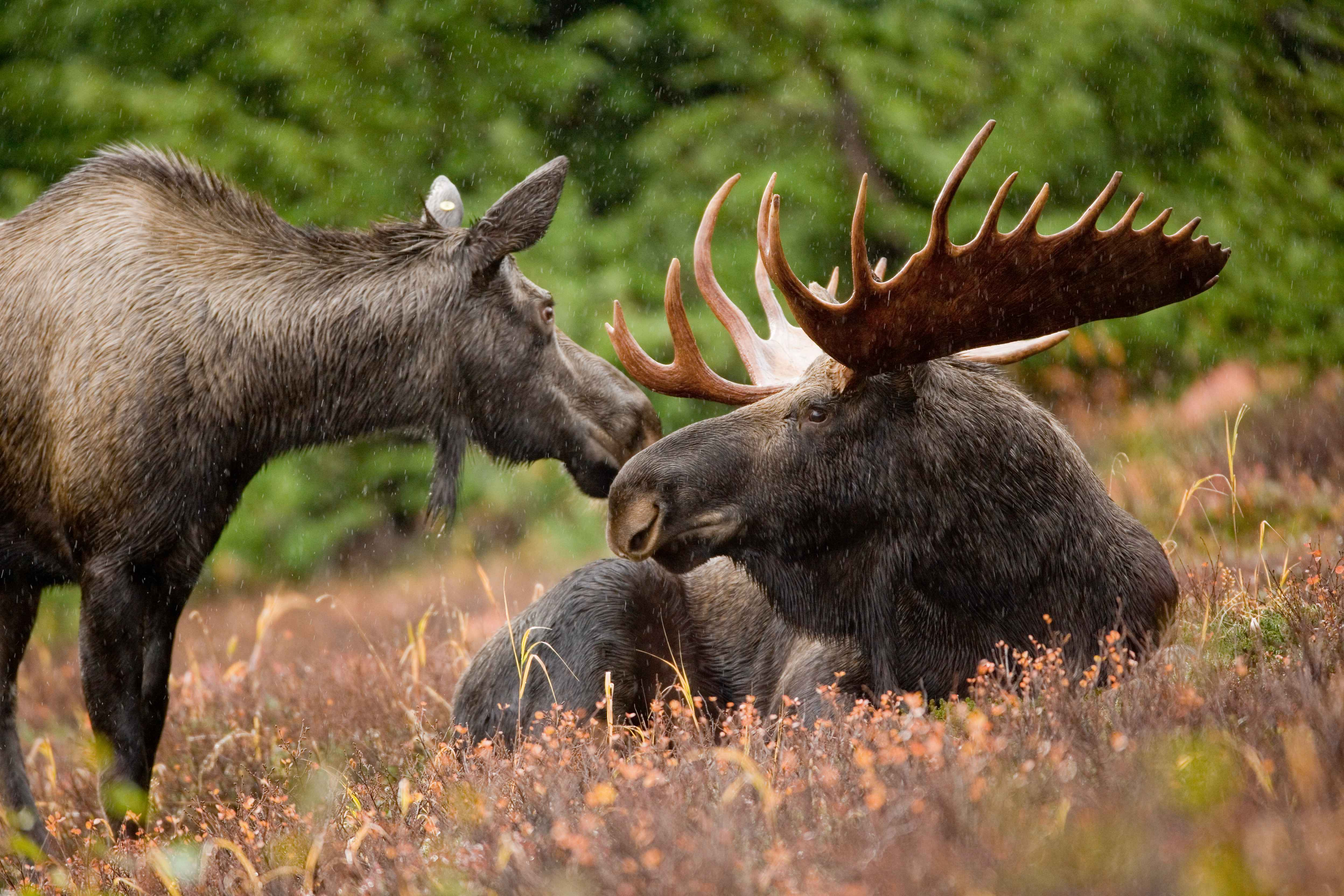 Moose High Quality Background on Wallpapers Vista
