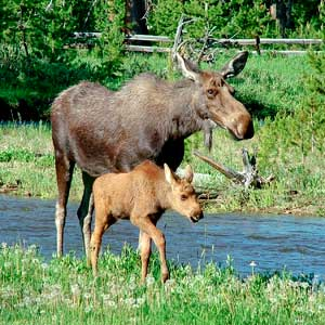 Images of Moose | 300x300