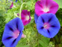 Nice Images Collection: Morning Glory Desktop Wallpapers