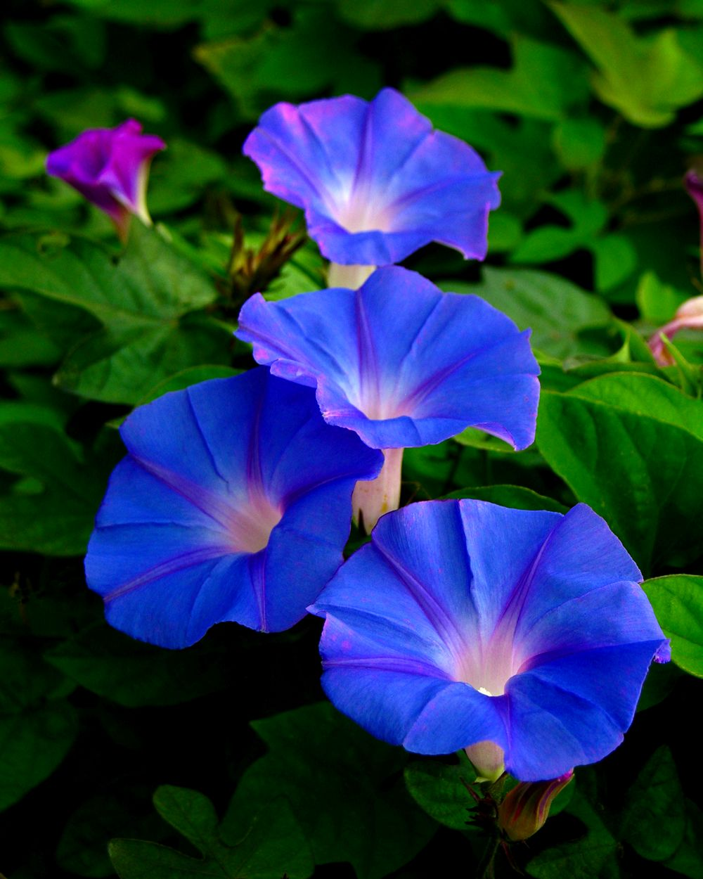 Morning Glory Backgrounds, Compatible - PC, Mobile, Gadgets| 1000x1250 px