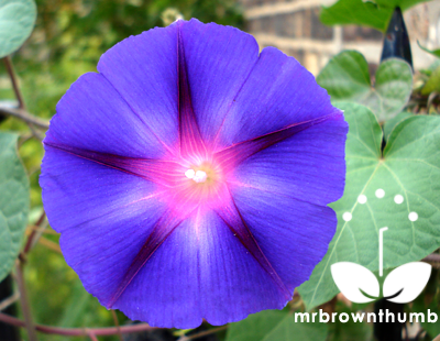 Morning Glory Backgrounds, Compatible - PC, Mobile, Gadgets| 400x310 px