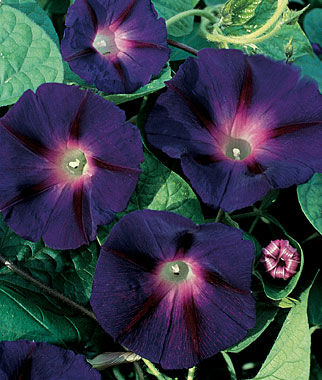 Morning Glory Pics, Earth Collection