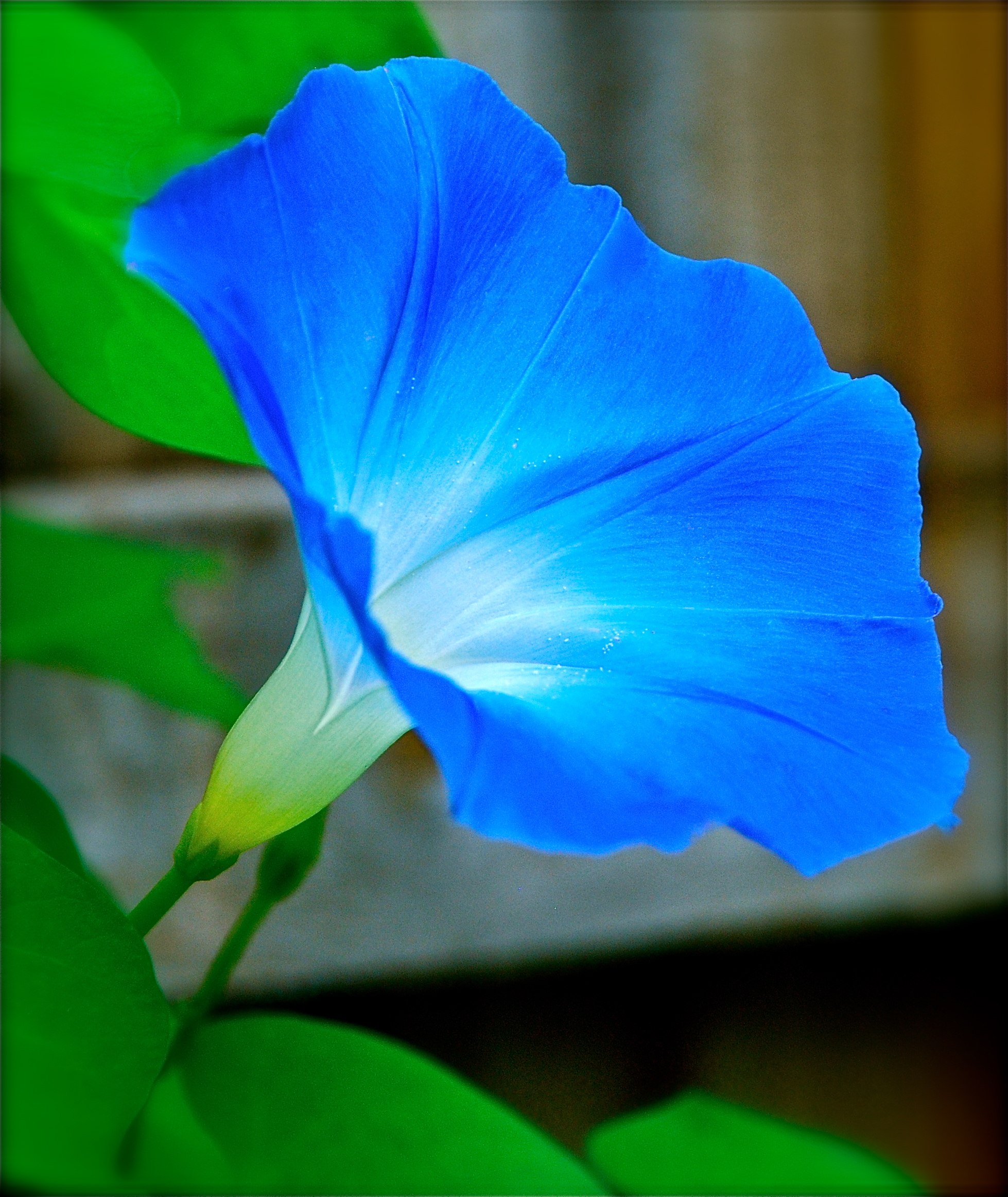 1958x2324 > Morning Glory Wallpapers