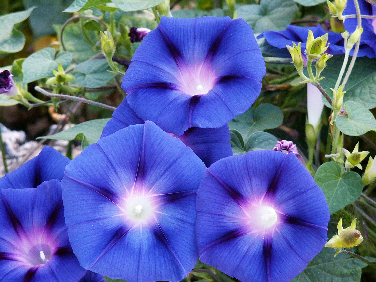 HQ Morning Glory Wallpapers | File 848.73Kb