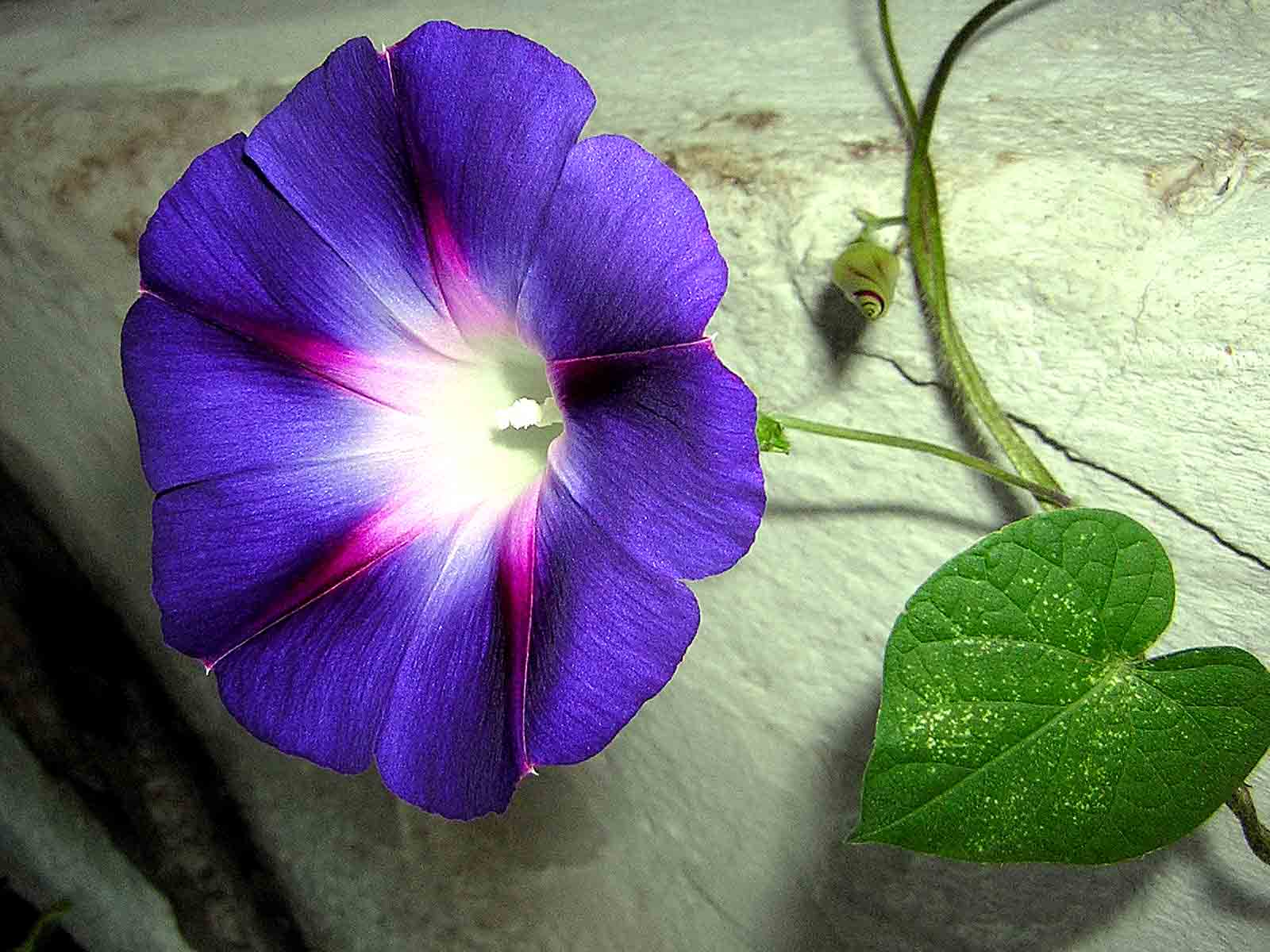 Morning Glory Backgrounds, Compatible - PC, Mobile, Gadgets| 1600x1200 px