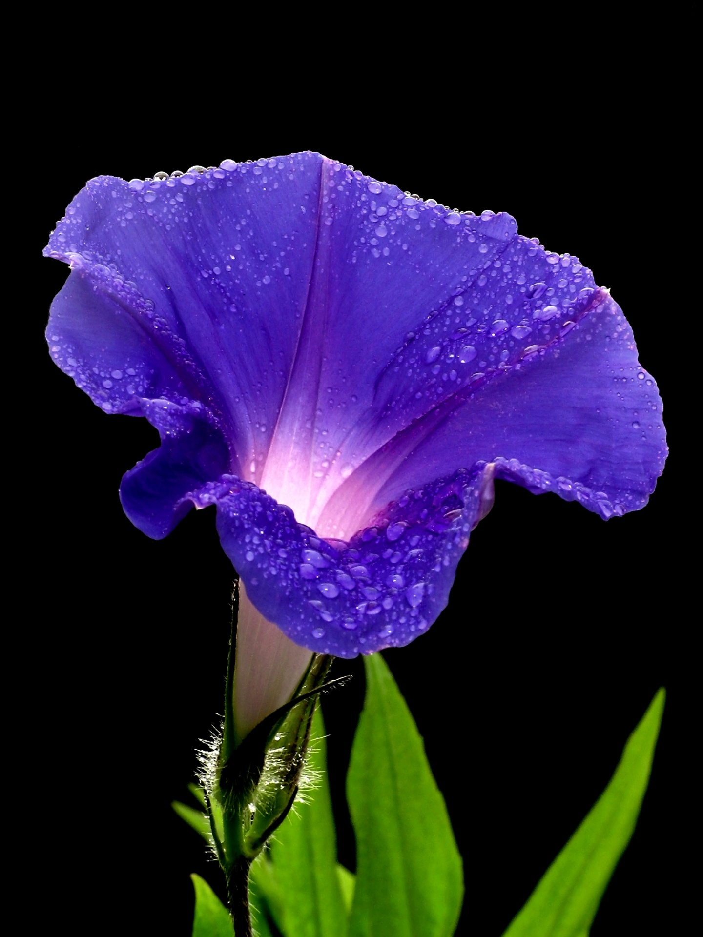 Nice wallpapers Morning Glory 1440x1920px