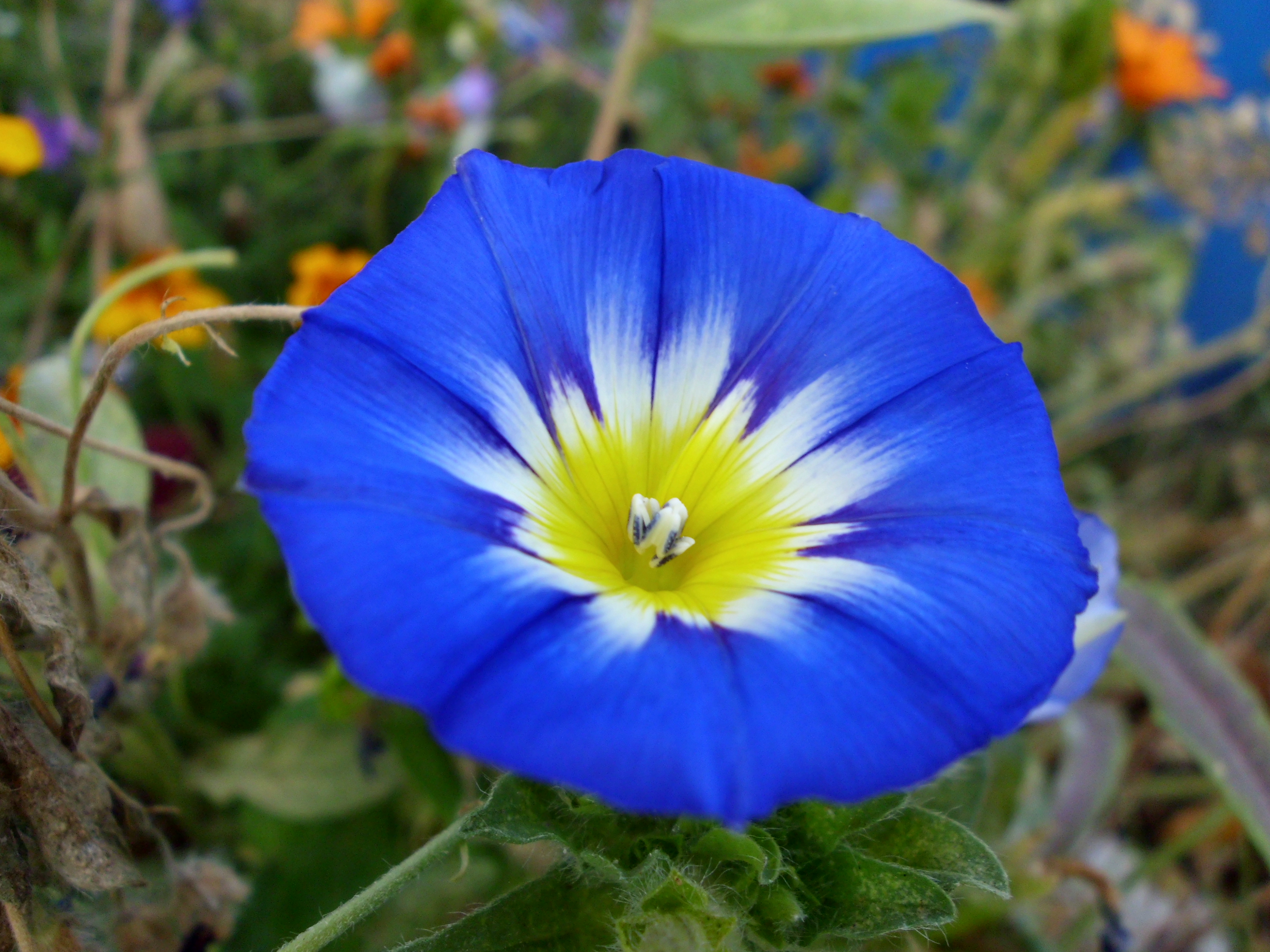 Morning Glory Backgrounds, Compatible - PC, Mobile, Gadgets| 4320x3240 px
