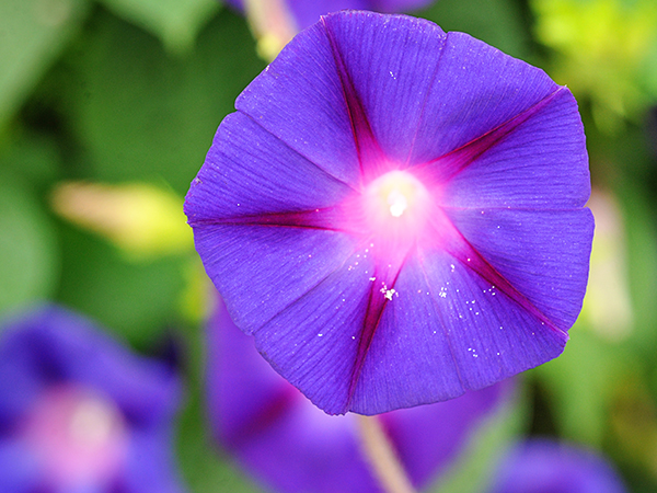 Amazing Morning Glory Pictures & Backgrounds