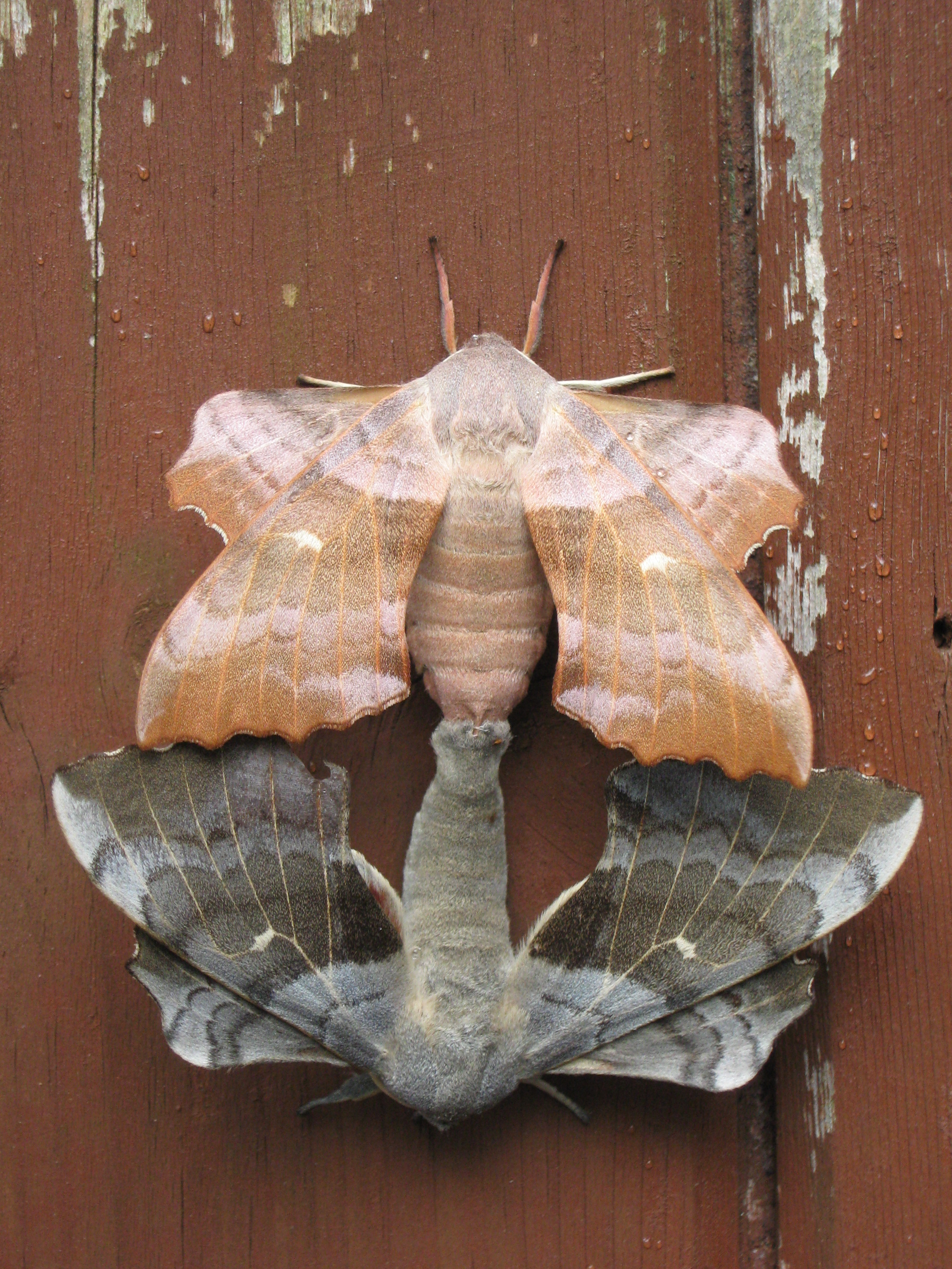 2304x3072 > Moth Wallpapers