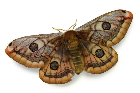 Moth High Quality Background on Wallpapers Vista