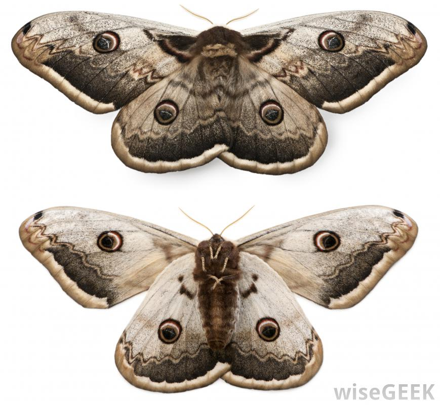 Nice Images Collection: Moth Desktop Wallpapers