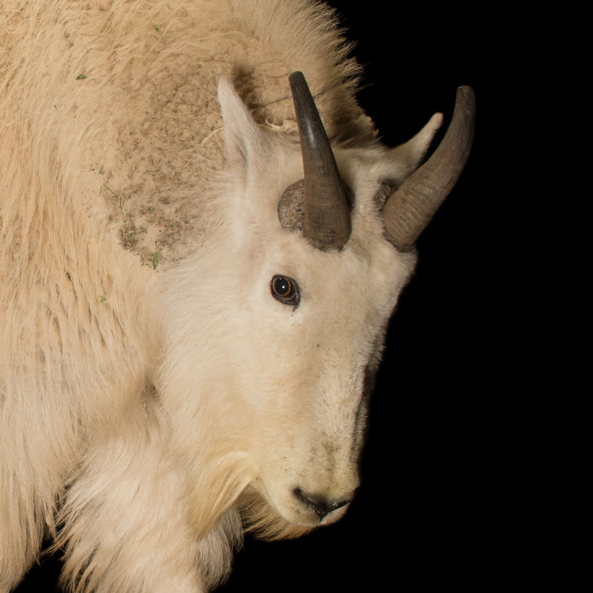 Mountain Goat Pics, Animal Collection