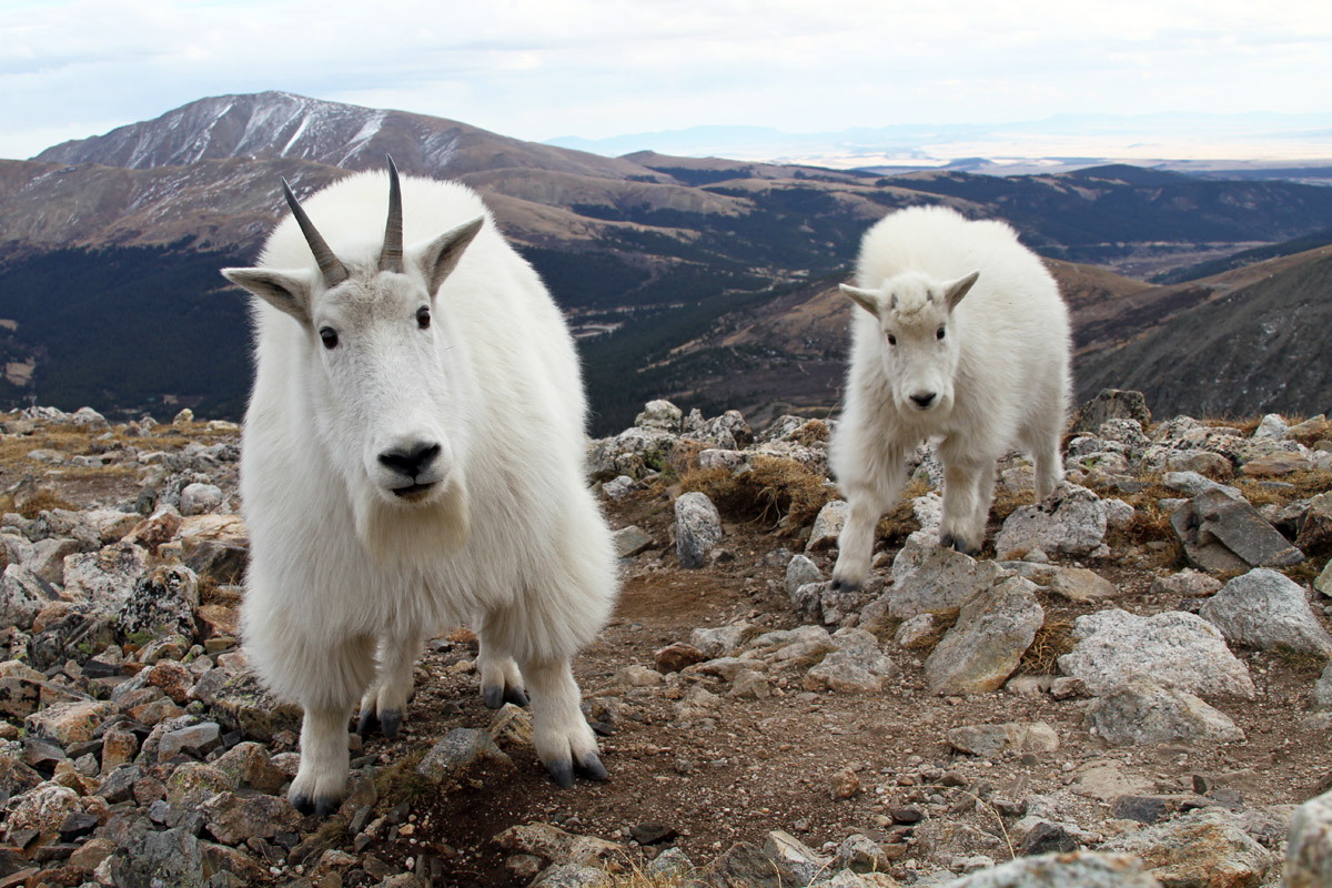 Mountain Goat High Quality Background on Wallpapers Vista