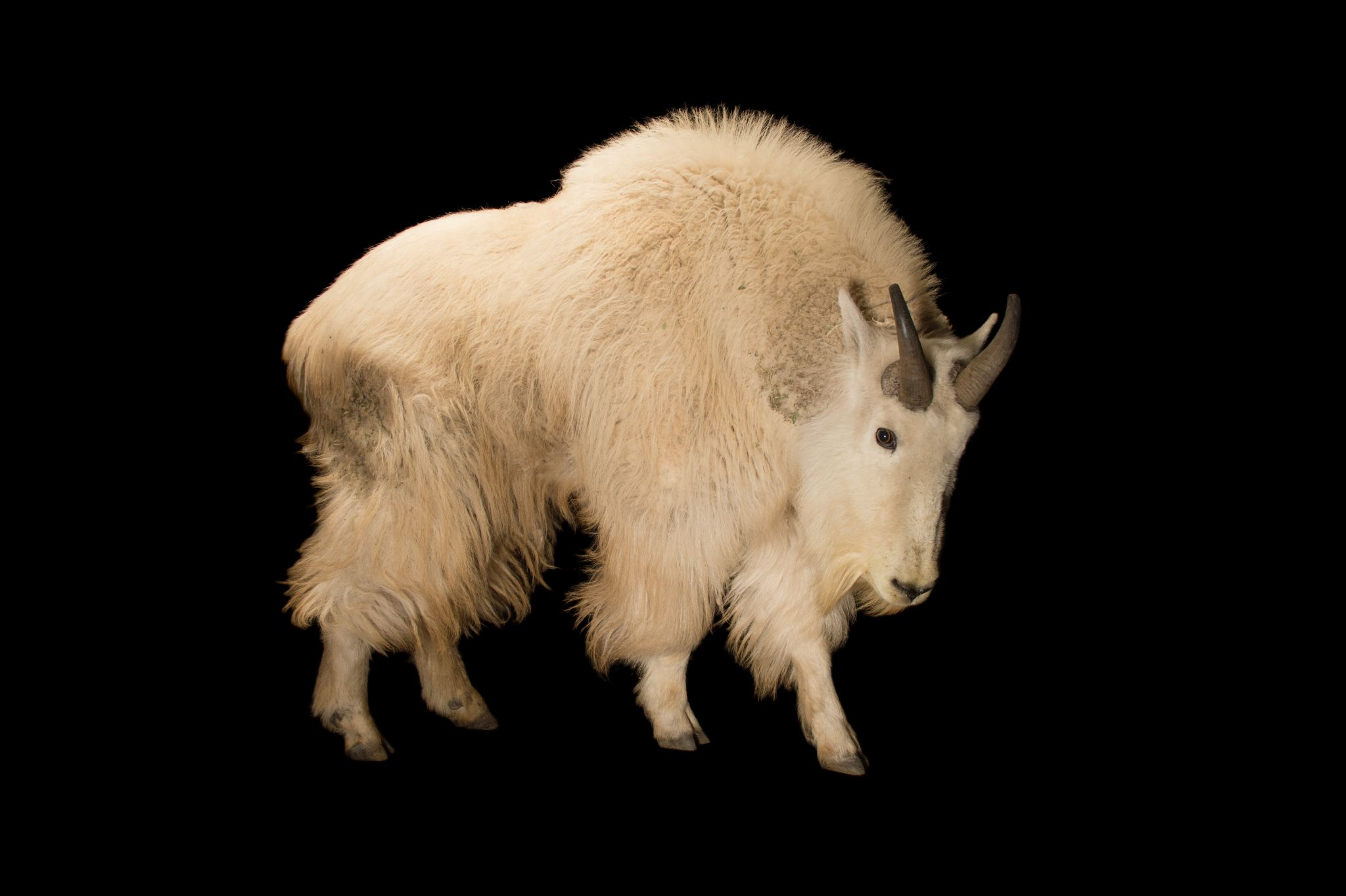 Goat Backgrounds, Compatible - PC, Mobile, Gadgets| 2048x1363 px