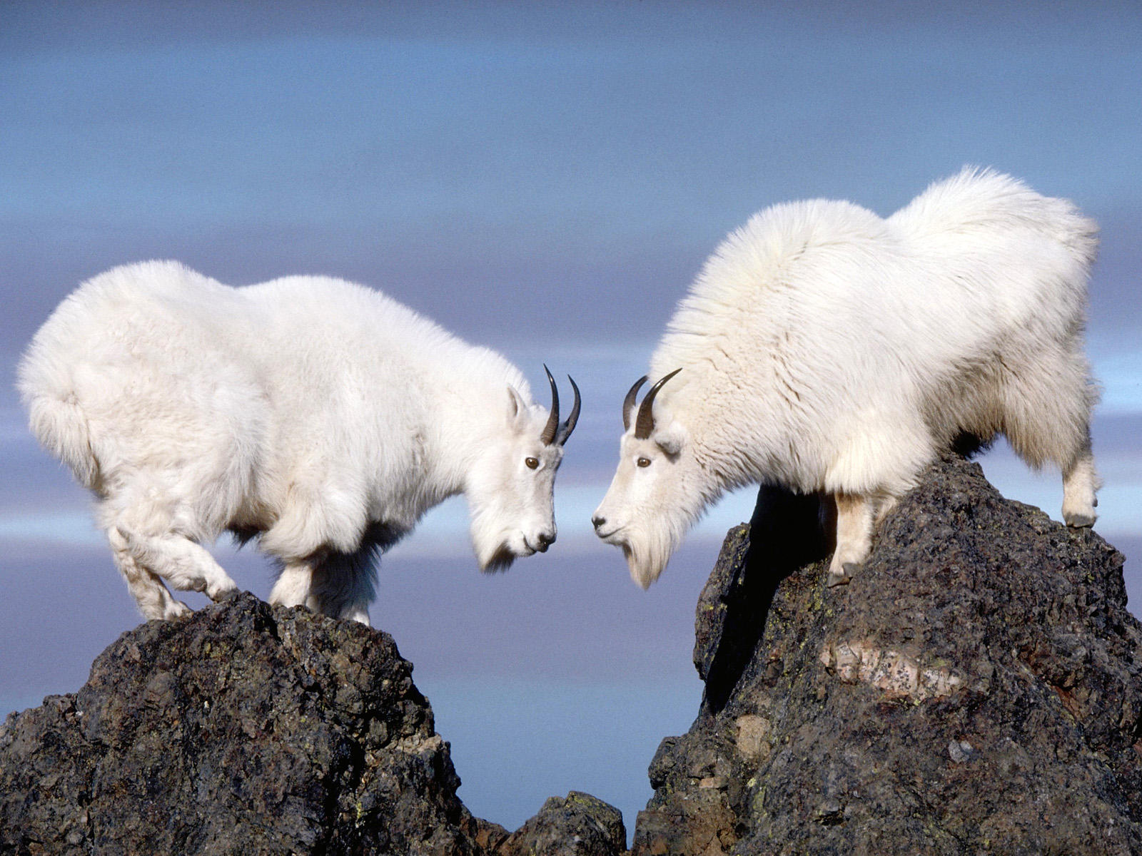 Mountain Goat Backgrounds, Compatible - PC, Mobile, Gadgets| 1600x1200 px