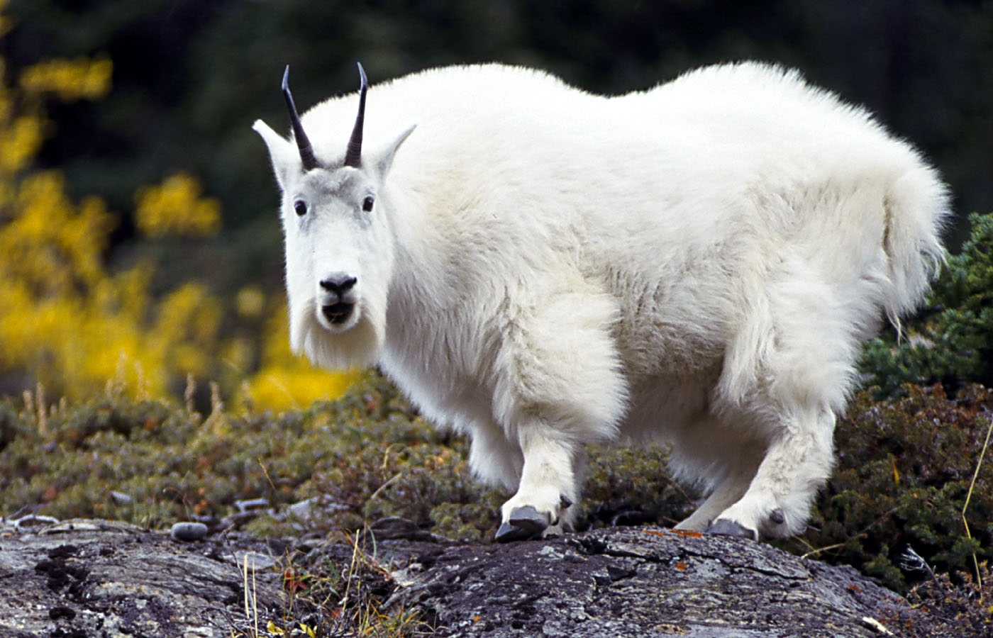 Nice Images Collection: Mountain Goat Desktop Wallpapers
