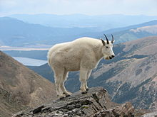 Amazing Mountain Goat Pictures & Backgrounds