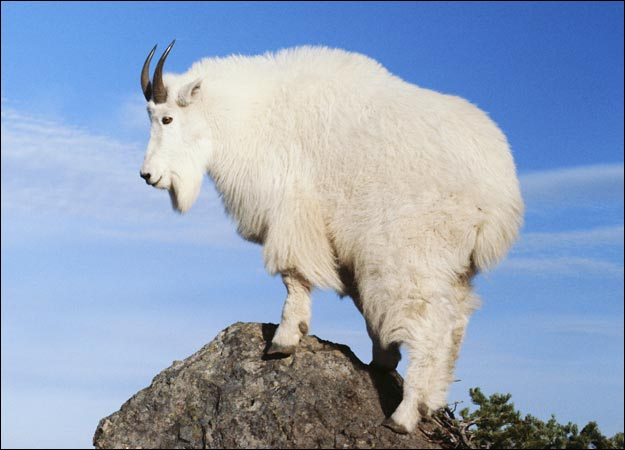 Images of Mountain Goat | 625x450