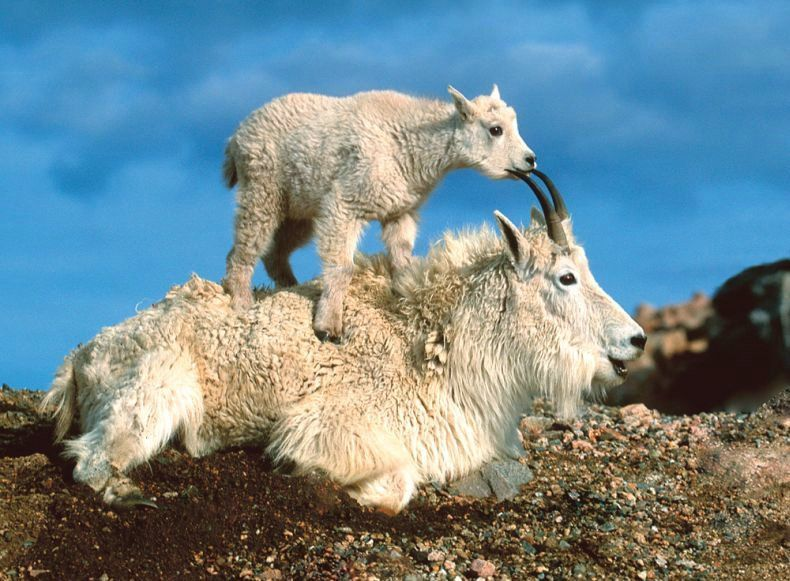 HD Quality Wallpaper | Collection: Animal, 790x581 Mountain Goat