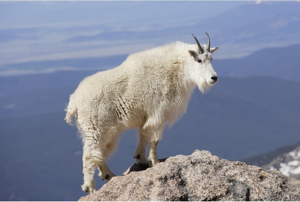 Mountain Goat Backgrounds, Compatible - PC, Mobile, Gadgets| 1000x673 px