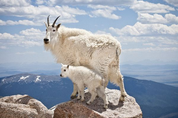Nice wallpapers Mountain Goat 600x398px
