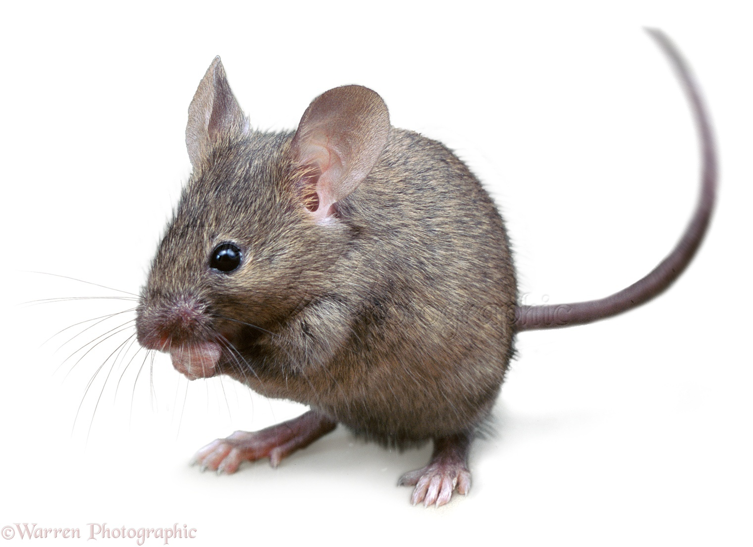 Mouse High Quality Background on Wallpapers Vista