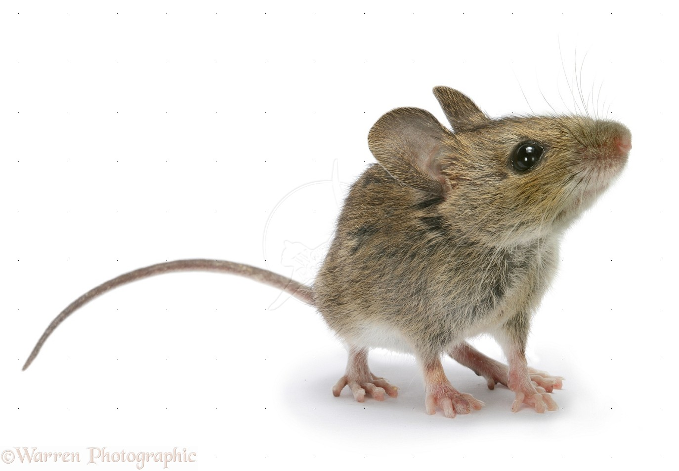Mouse Pics, Animal Collection