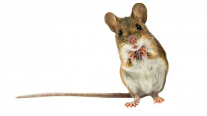 HD Quality Wallpaper | Collection: Animal, 720x405 Mouse