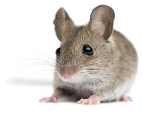 Nice Images Collection: Mouse Desktop Wallpapers