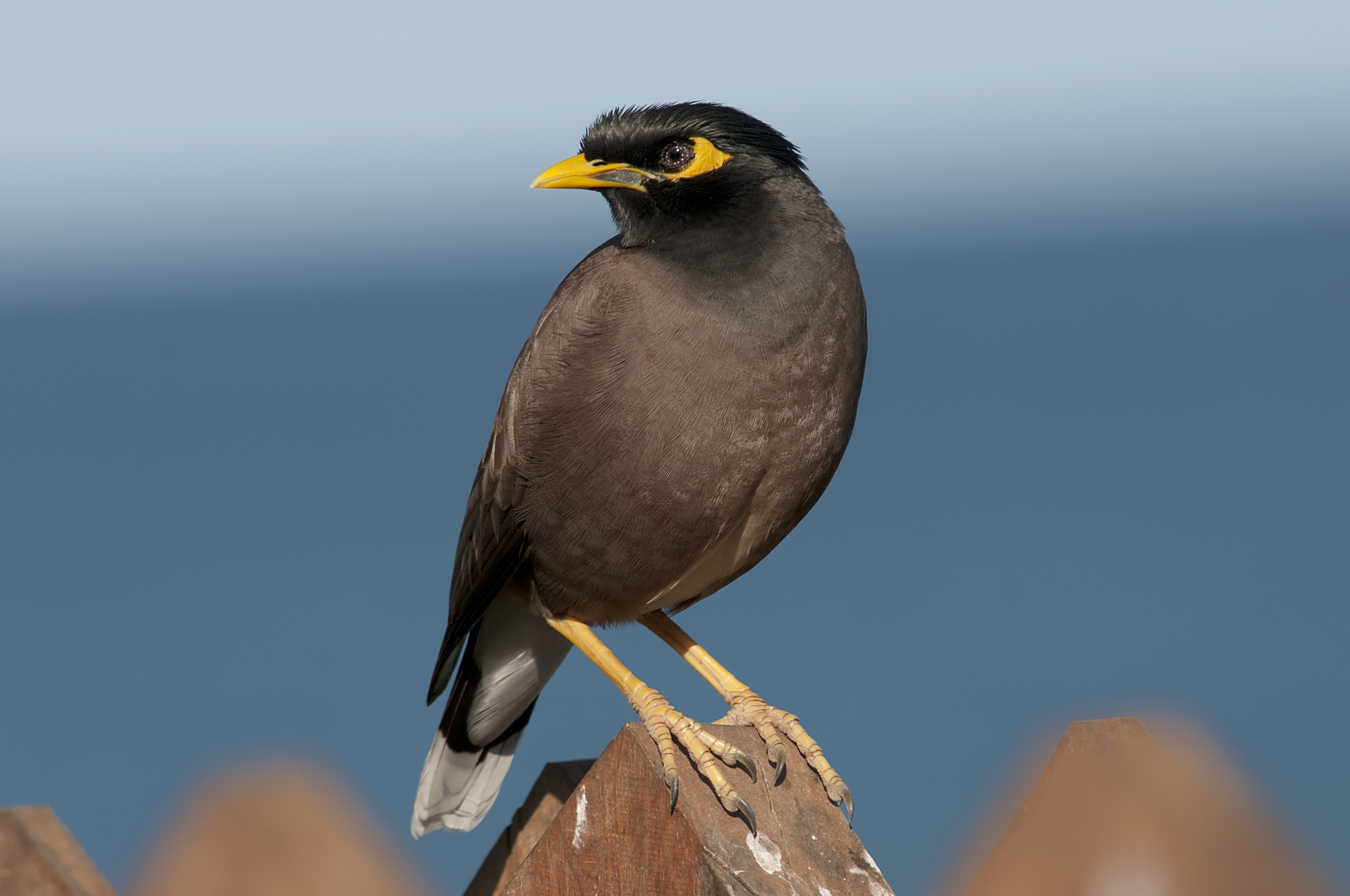 Images of Myna | 2144x1424