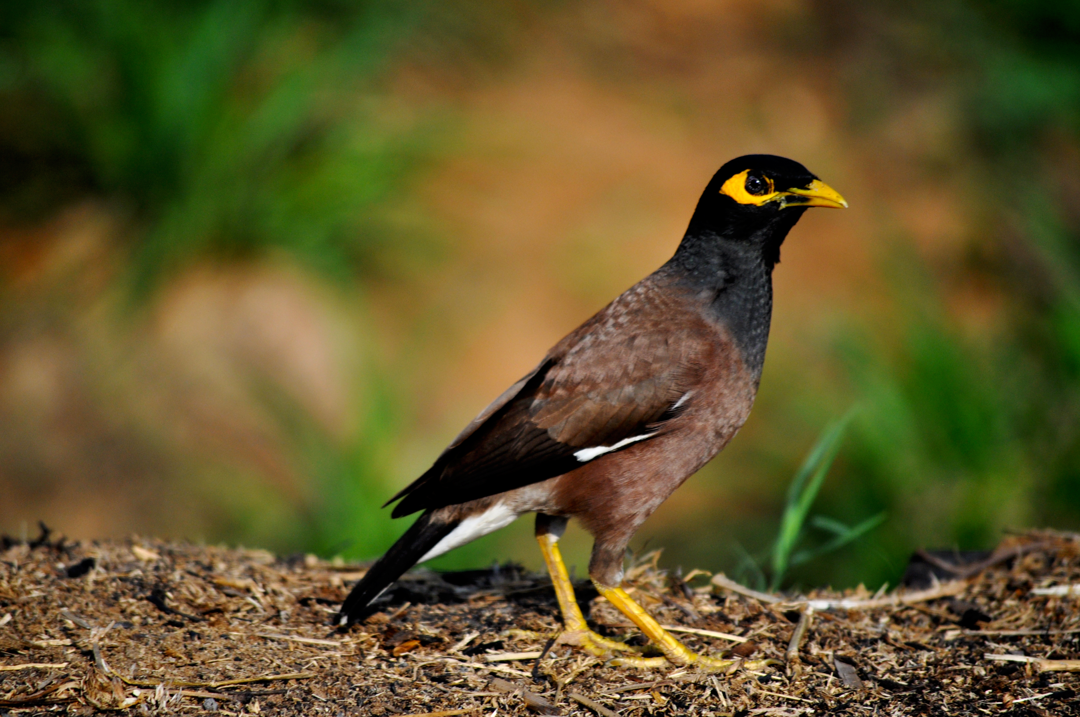 Myna High Quality Background on Wallpapers Vista