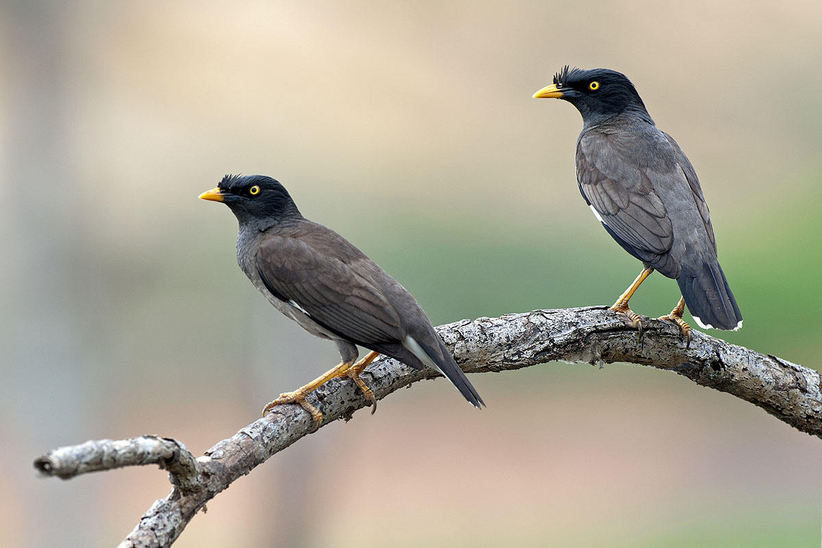 Images of Myna | 1200x800