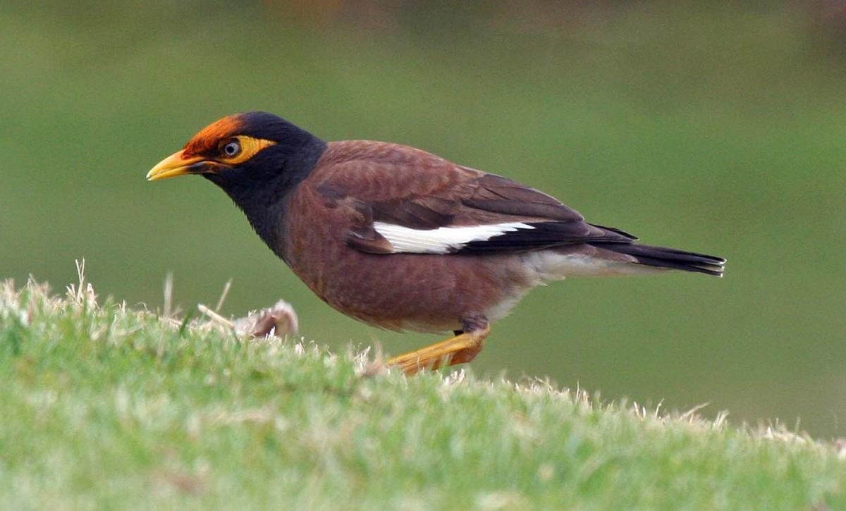 Myna Backgrounds on Wallpapers Vista